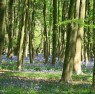 bluebells_in_wood